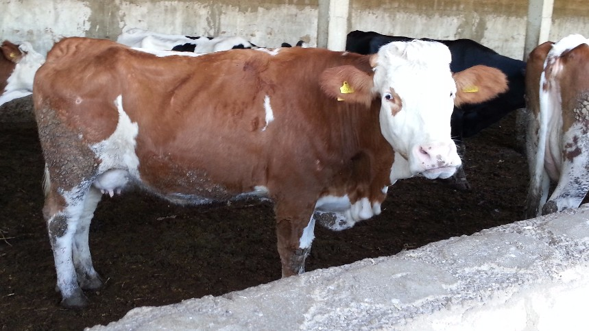 a description of bovine tuberculosis Bovine tuberculosis is a zoonotic disease and causes tuberculosis in human the disease can be transmitted in raw milk, but pasteurisation effectively prevents the spread via milk m bovis has been found in several wild mammal species.